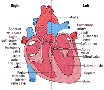 Heart transplant in india right and left side of the heart ccuart Images