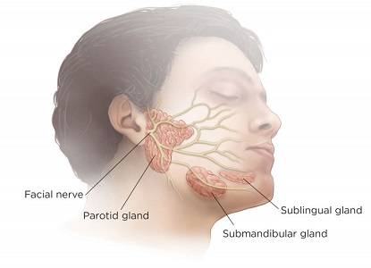 Salivary Glands Anatomy